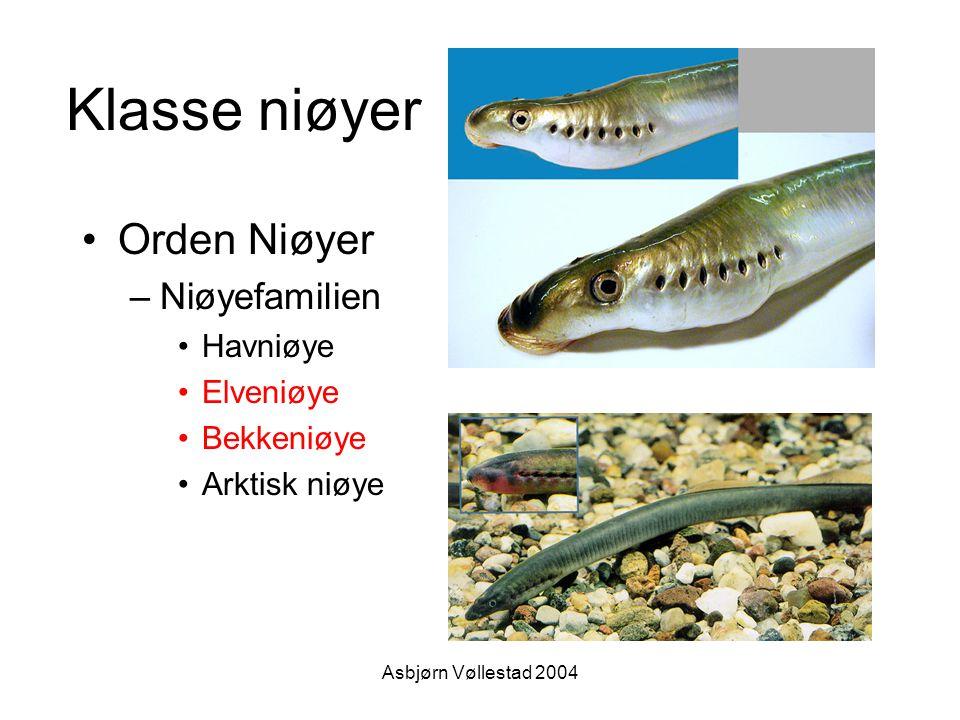 Asbjørn Vøllestad 2004 Klasse niøyer Orden Niøyer –Niøyefamilien Havniøye Elveniøye Bekkeniøye Arktisk niøye