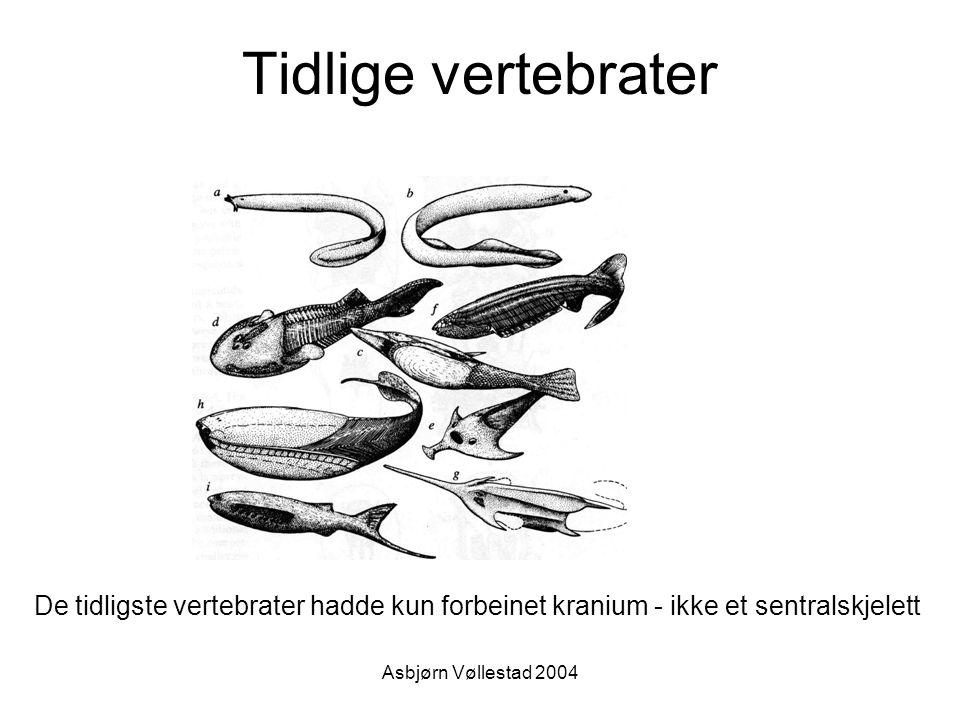 Asbjørn Vøllestad 2004 De tidligste vertebrater : Ostracodermene (skjell - huder) Kjeveløse (agnatha) >530 mYr (tidlig Cambrium) ikke mineralisert skjelett forbeinet ytre beinskjelett /skjell utdødd c.