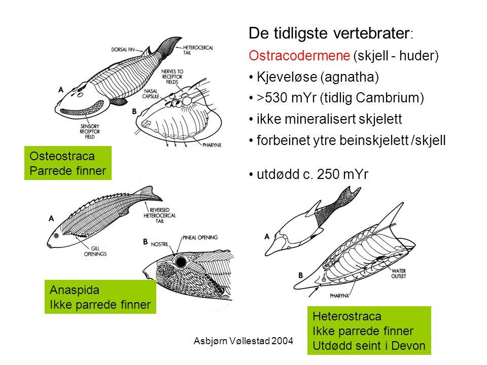 Asbjørn Vøllestad 2004 De tidligste vertebrater : Ostracodermene (skjell - huder) Kjeveløse (agnatha) >530 mYr (tidlig Cambrium) ikke mineralisert skj
