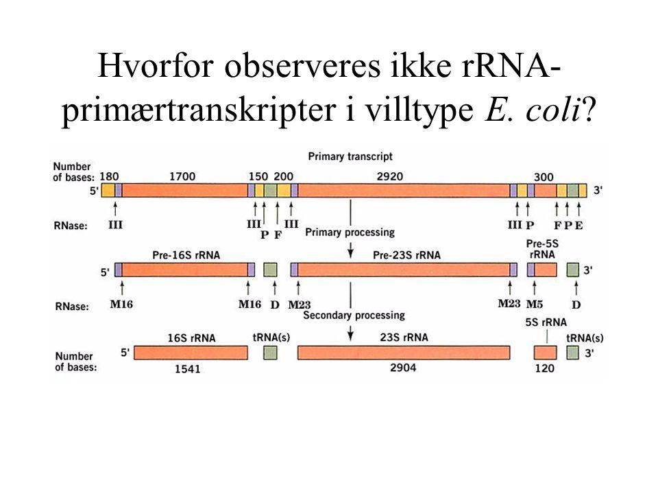 Hvorfor observeres ikke rRNA- primærtranskripter i villtype E. coli?