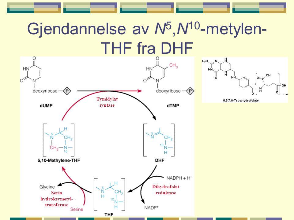 Gjendannelse av N 5,N 10 -metylen- THF fra DHF Dihydrofolat reduktase Serin hydroksymetyl- transferase Tymidylat syntase