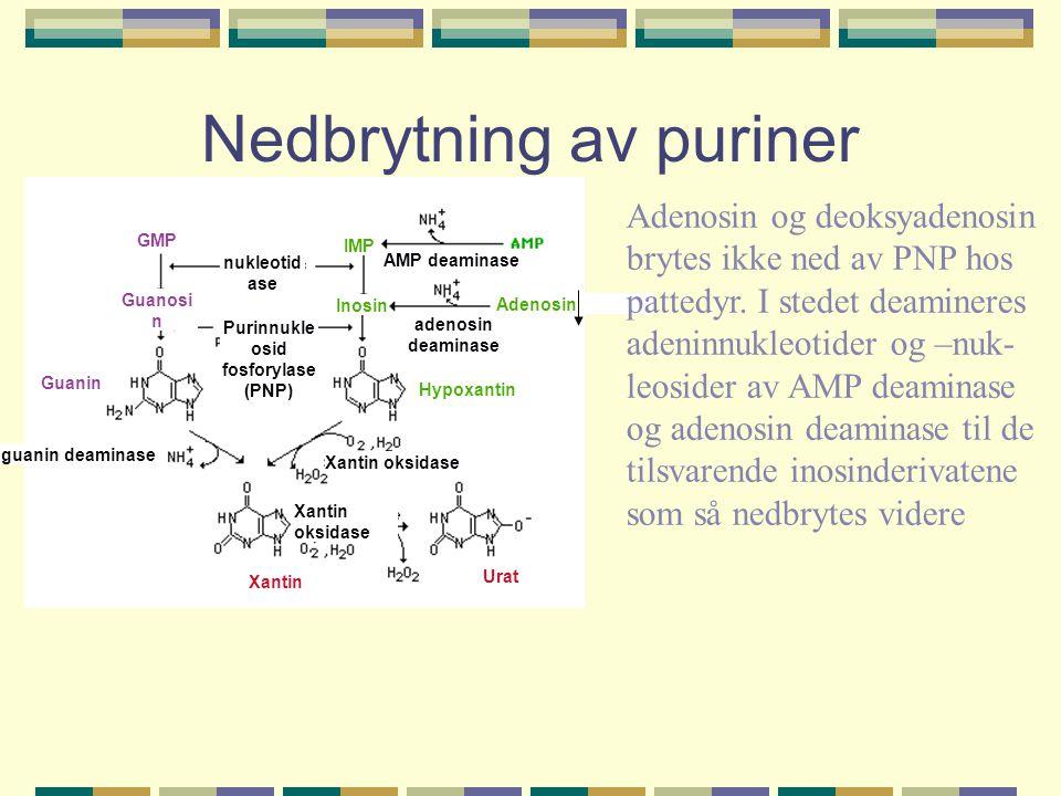 Nedbrytning av puriner AMP deaminase adenosin deaminase nukleotid ase Purinnukle osid fosforylase (PNP) Xantin oksidase guanin deaminase Hypoxantin Ur
