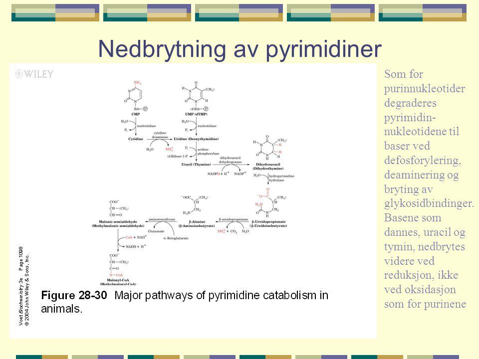 Nedbrytning av pyrimidiner Som for purinnukleotider degraderes pyrimidin- nukleotidene til baser ved defosforylering, deaminering og bryting av glykos