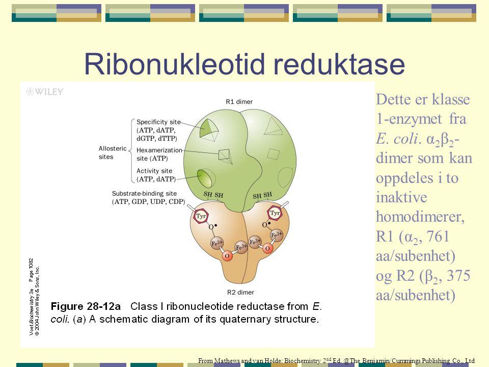 Ribonukleotid reduktase Dette er klasse 1-enzymet fra E. coli. α 2 β 2 - dimer som kan oppdeles i to inaktive homodimerer, R1 (α 2, 761 aa/subenhet) o