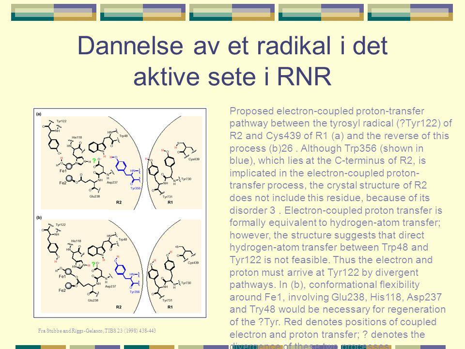 RNR: R1-dimeren