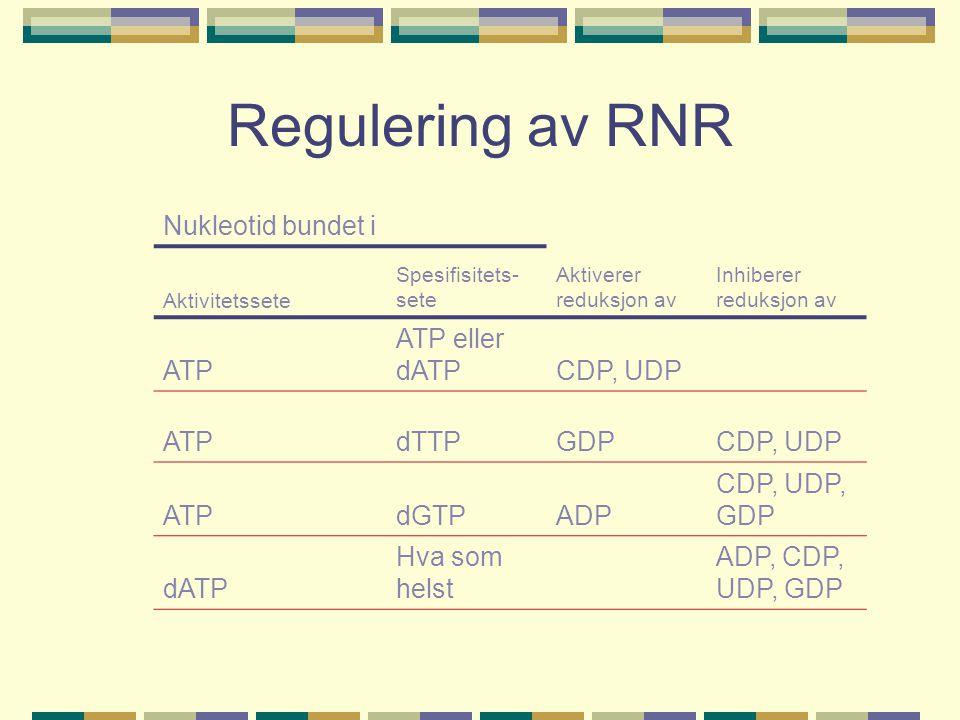 Regulering av RNR Nukleotid bundet i Aktivitetssete Spesifisitets- sete Aktiverer reduksjon av Inhiberer reduksjon av ATP ATP eller dATPCDP, UDP ATPdT