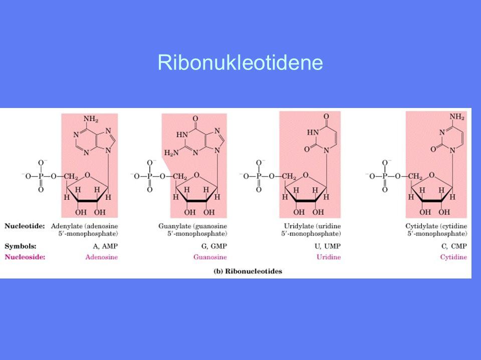 Ribonukleotidene Figur 10-4b