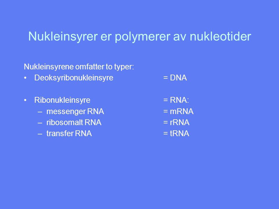 Nukleinsyrer er polymerer av nukleotider Nukleinsyrene omfatter to typer: Deoksyribonukleinsyre= DNA Ribonukleinsyre= RNA: –messenger RNA= mRNA –ribos