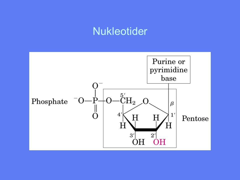 Fosfodiesterbindingen Kovalent binding mellom 5' C-atomet i et nukleotid og 3' C- atomet i neste nukleotid Har netto negativ ladning