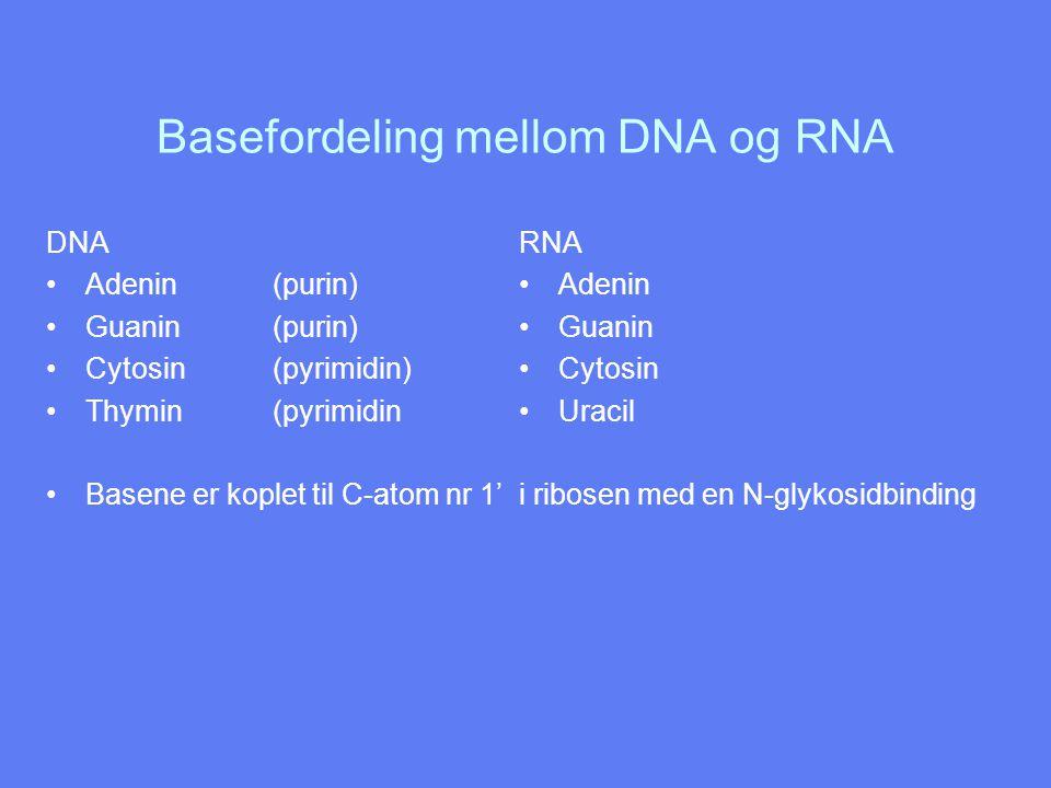 Basefordeling mellom DNA og RNA DNA Adenin (purin) Guanin (purin) Cytosin (pyrimidin) Thymin (pyrimidin Basene er koplet til C-atom nr 1' RNA Adenin G