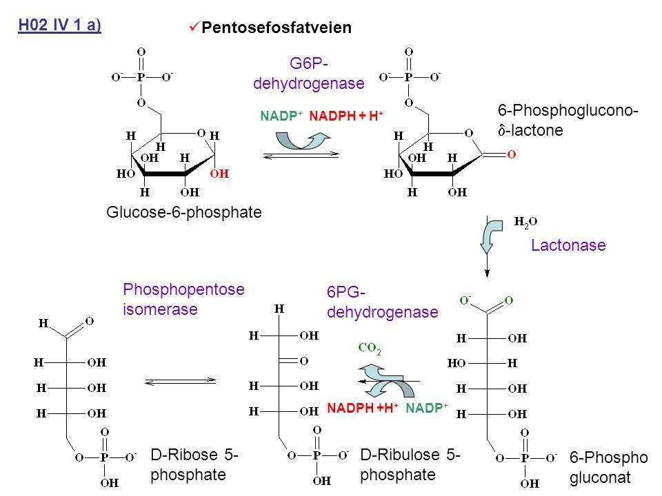 Pentosefosfatveien H02 IV 1 a) G6P- dehydrogenase NADP + NADPH + H + Lactonase 6PG- dehydrogenase Phosphopentose isomerase 6-Phospho gluconat D-Ribulose 5- phosphate D-Ribose 5- phosphate NADPH +H + NADP + 6-Phosphoglucono-  -lactone Glucose-6-phosphate