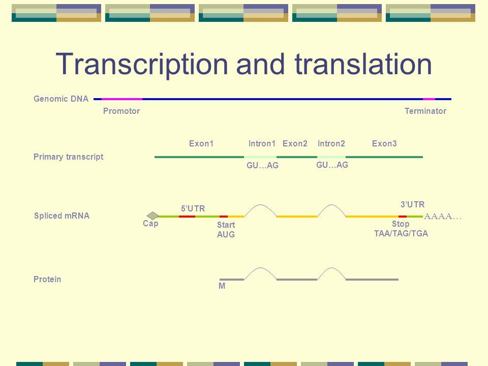 Transcription and translation Genomic DNA Primary transcript Spliced mRNA Protein Promotor Cap 5'UTR 3'UTR Exon1Exon2Exon3 Start AUG Stop TAA/TAG/TGA