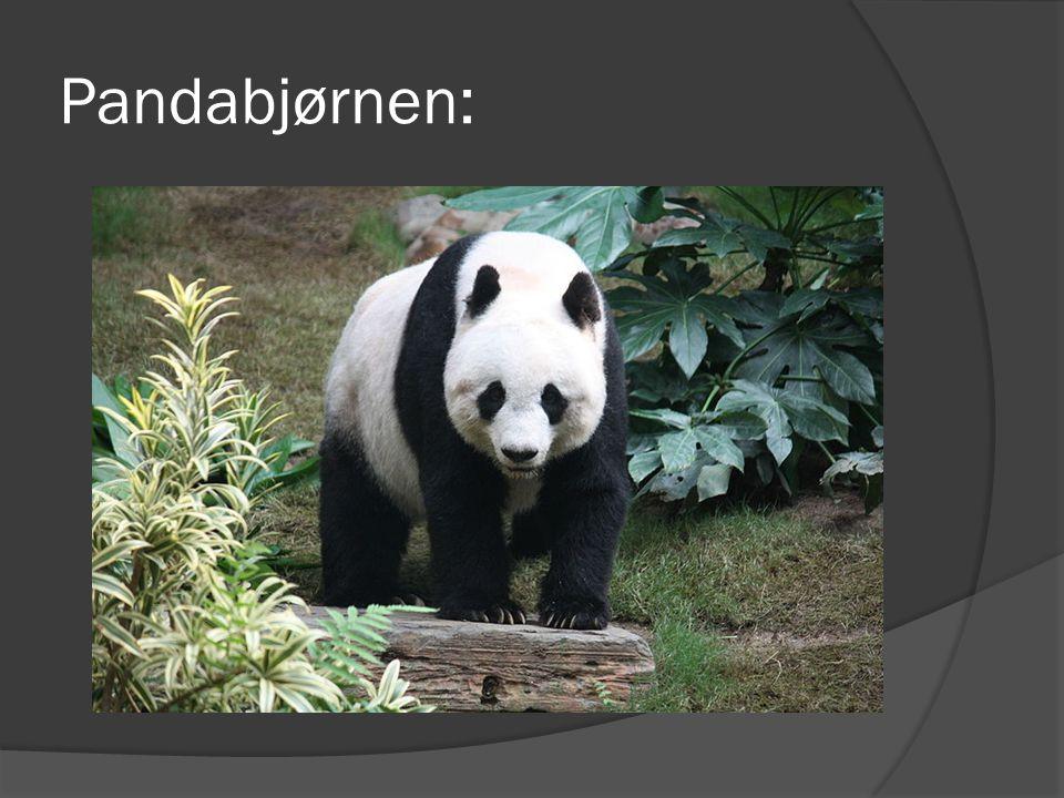 Pandabjørnen: