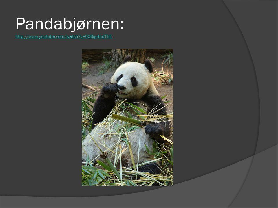 Pandabjørnen: http://www.youtube.com/watch?v=006ip4ndThE http://www.youtube.com/watch?v=006ip4ndThE