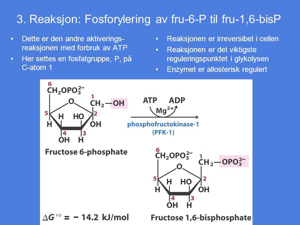 3. Reaksjon: Fosforylering av fru-6-P til fru-1,6-bisP Dette er den andre aktiverings- reaksjonen med forbruk av ATP Her settes en fosfatgruppe, P, på