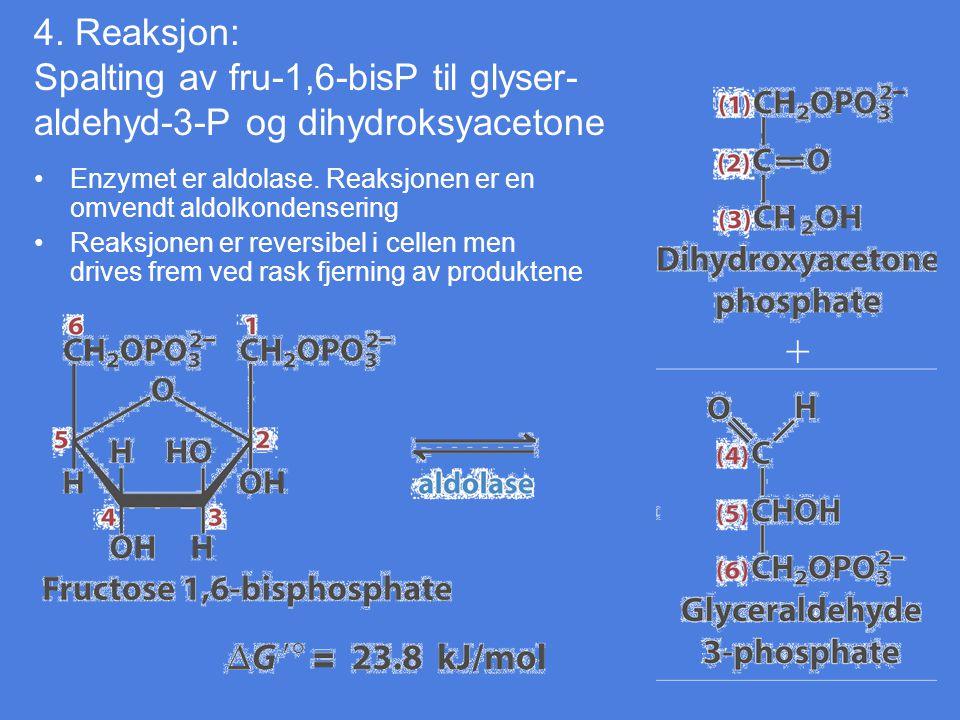4. Reaksjon: Spalting av fru-1,6-bisP til glyser- aldehyd-3-P og dihydroksyacetone Enzymet er aldolase. Reaksjonen er en omvendt aldolkondensering Rea