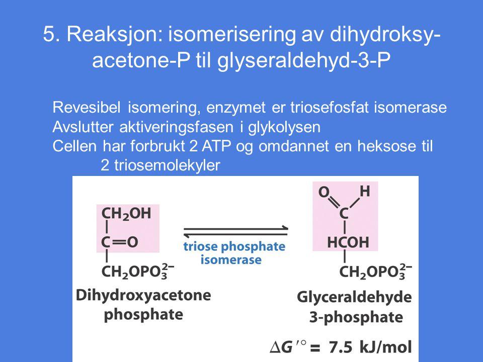 5. Reaksjon: isomerisering av dihydroksy- acetone-P til glyseraldehyd-3-P Revesibel isomering, enzymet er triosefosfat isomerase Avslutter aktiverings