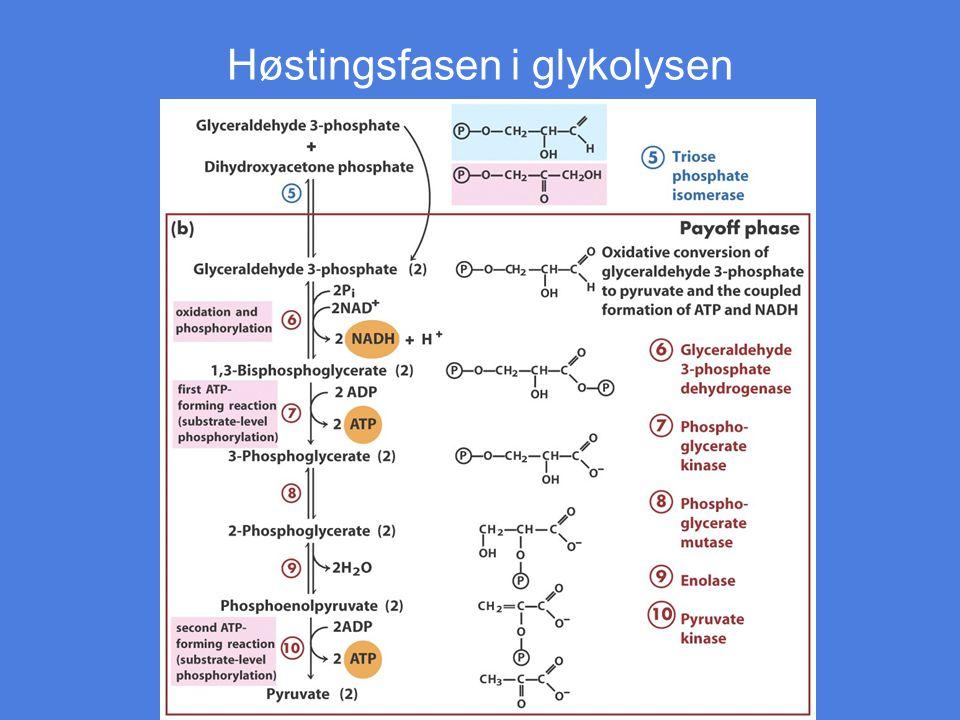 Høstingsfasen i glykolysen