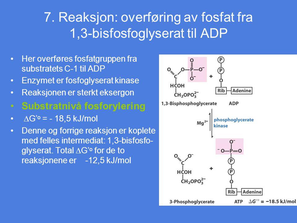 7. Reaksjon: overføring av fosfat fra 1,3-bisfosfoglyserat til ADP Her overføres fosfatgruppen fra substratets C-1 til ADP Enzymet er fosfoglyserat ki