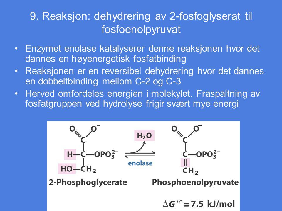 9. Reaksjon: dehydrering av 2-fosfoglyserat til fosfoenolpyruvat Enzymet enolase katalyserer denne reaksjonen hvor det dannes en høyenergetisk fosfatb
