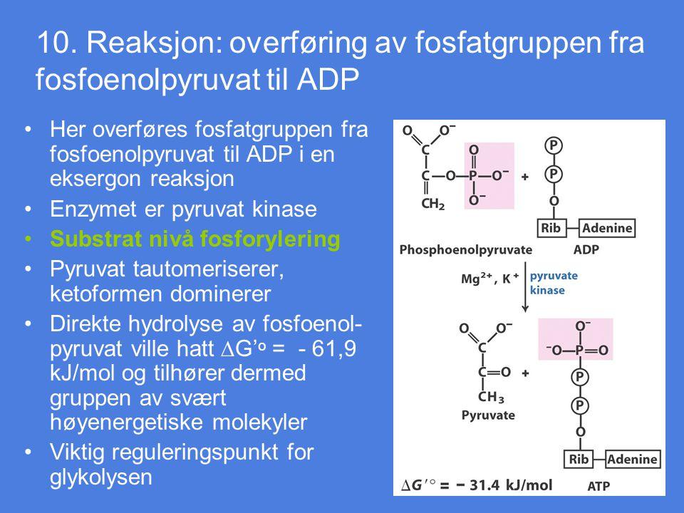 10. Reaksjon: overføring av fosfatgruppen fra fosfoenolpyruvat til ADP Her overføres fosfatgruppen fra fosfoenolpyruvat til ADP i en eksergon reaksjon