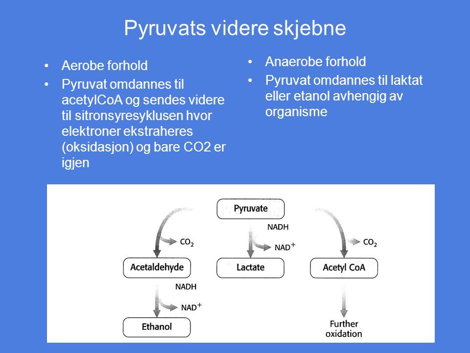 Pyruvats videre skjebne Aerobe forhold Pyruvat omdannes til acetylCoA og sendes videre til sitronsyresyklusen hvor elektroner ekstraheres (oksidasjon)