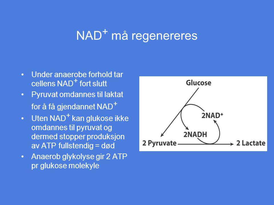 NAD + må regenereres Under anaerobe forhold tar cellens NAD + fort slutt Pyruvat omdannes til laktat for å få gjendannet NAD + Uten NAD + kan glukose