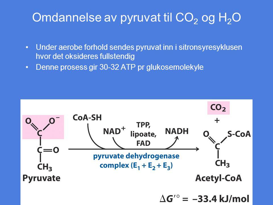 Omdannelse av pyruvat til CO 2 og H 2 O Under aerobe forhold sendes pyruvat inn i sitronsyresyklusen hvor det oksideres fullstendig Denne prosess gir