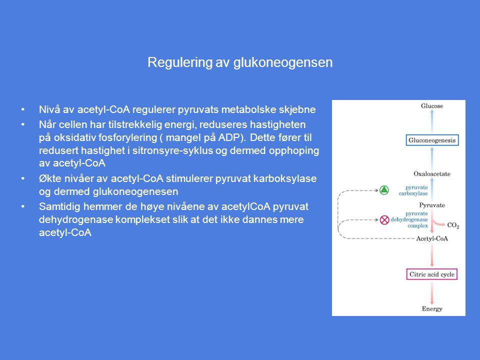 Regulering av glukoneogensen Nivå av acetyl-CoA regulerer pyruvats metabolske skjebne Når cellen har tilstrekkelig energi, reduseres hastigheten på ok