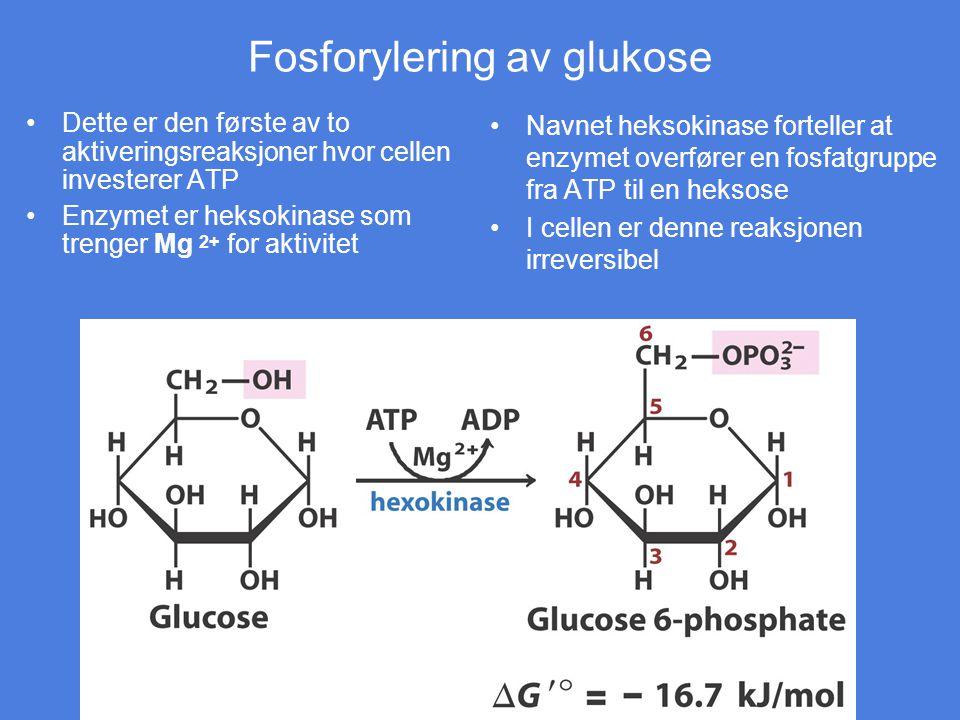 Fosforylering av glukose Dette er den første av to aktiveringsreaksjoner hvor cellen investerer ATP Enzymet er heksokinase som trenger Mg 2+ for aktiv