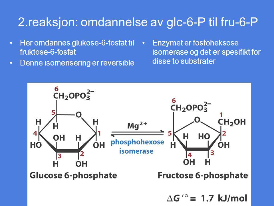 2.reaksjon: omdannelse av glc-6-P til fru-6-P Her omdannes glukose-6-fosfat til fruktose-6-fosfat Denne isomerisering er reversible Enzymet er fosfohe