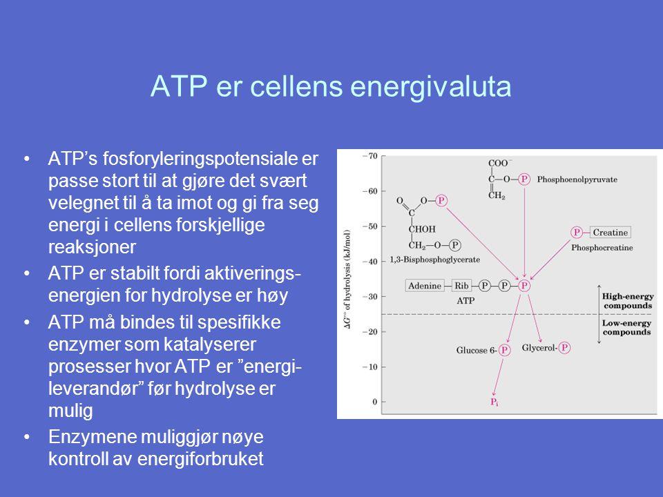 ATP er cellens energivaluta ATP's fosforyleringspotensiale er passe stort til at gjøre det svært velegnet til å ta imot og gi fra seg energi i cellens forskjellige reaksjoner ATP er stabilt fordi aktiverings- energien for hydrolyse er høy ATP må bindes til spesifikke enzymer som katalyserer prosesser hvor ATP er energi- leverandør før hydrolyse er mulig Enzymene muliggjør nøye kontroll av energiforbruket