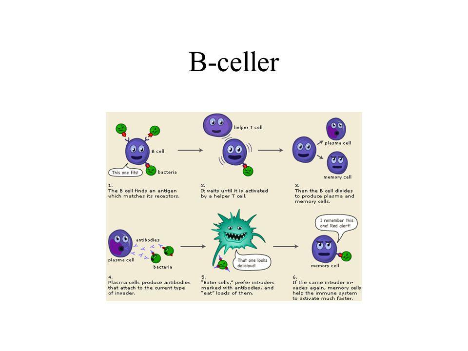 B-celler