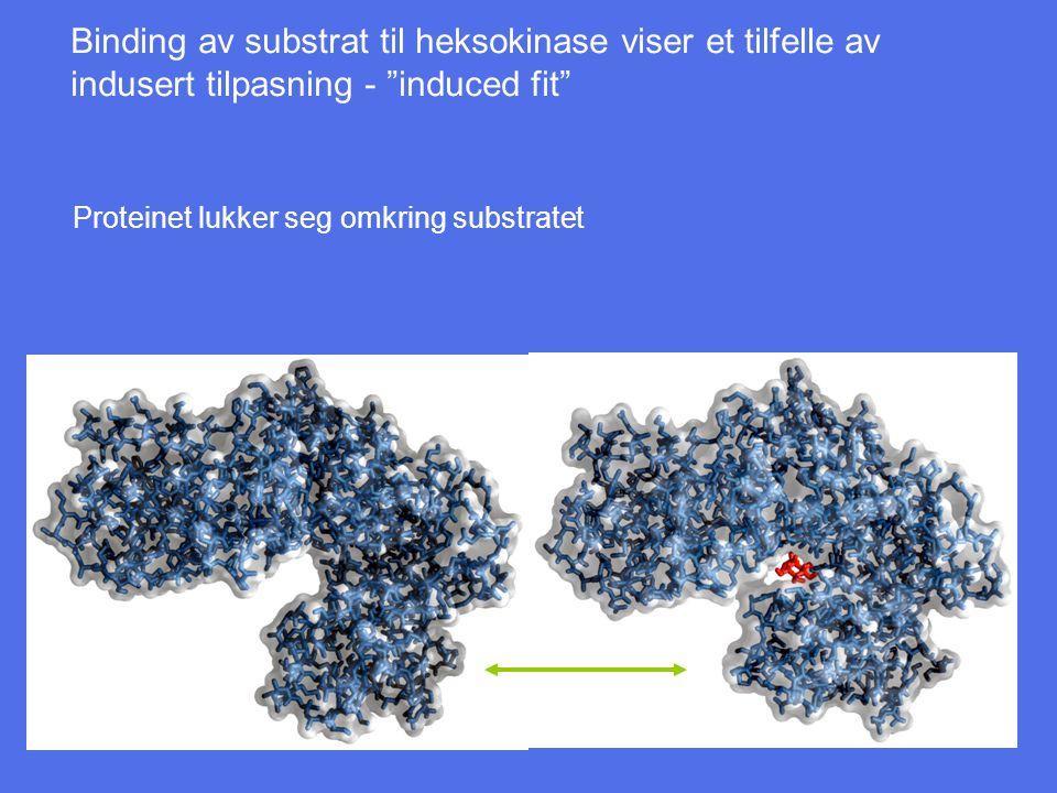 Binding av substrat til heksokinase viser et tilfelle av indusert tilpasning - induced fit Proteinet lukker seg omkring substratet
