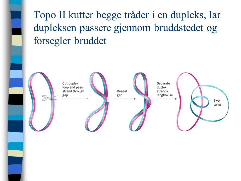 Topo II kutter begge tråder i en dupleks, lar dupleksen passere gjennom bruddstedet og forsegler bruddet