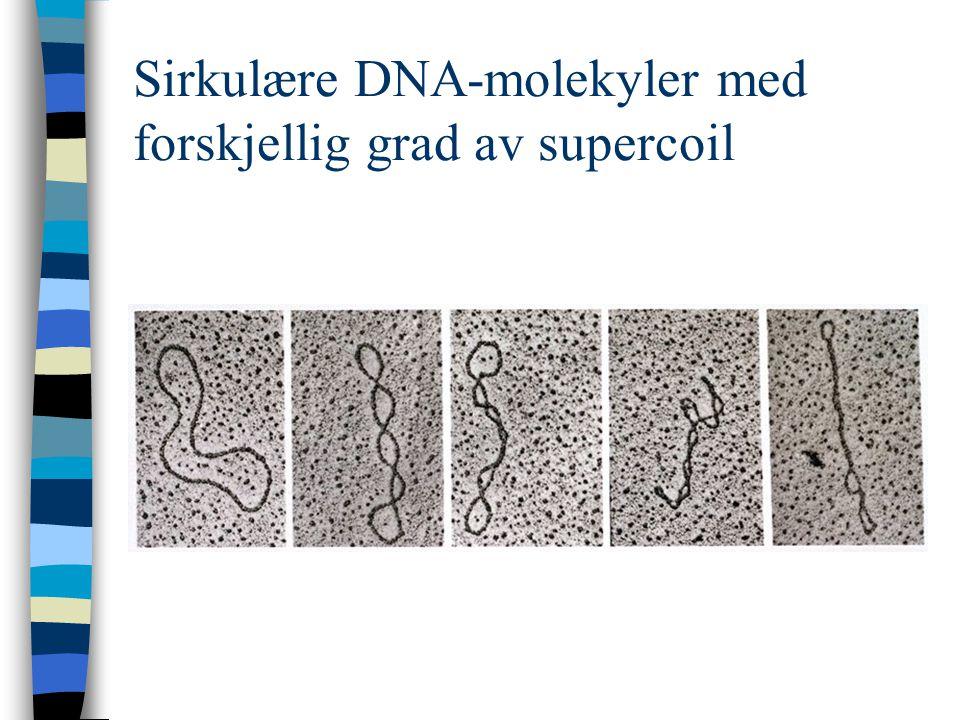 Sirkulære DNA-molekyler med forskjellig grad av supercoil