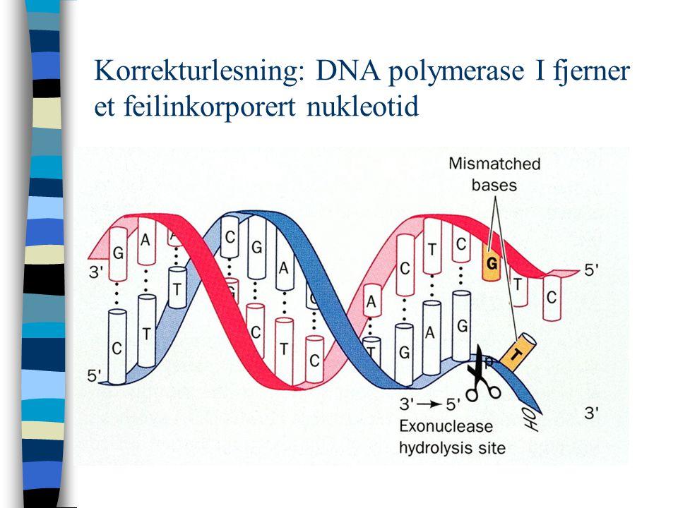 Korrekturlesning: DNA polymerase I fjerner et feilinkorporert nukleotid
