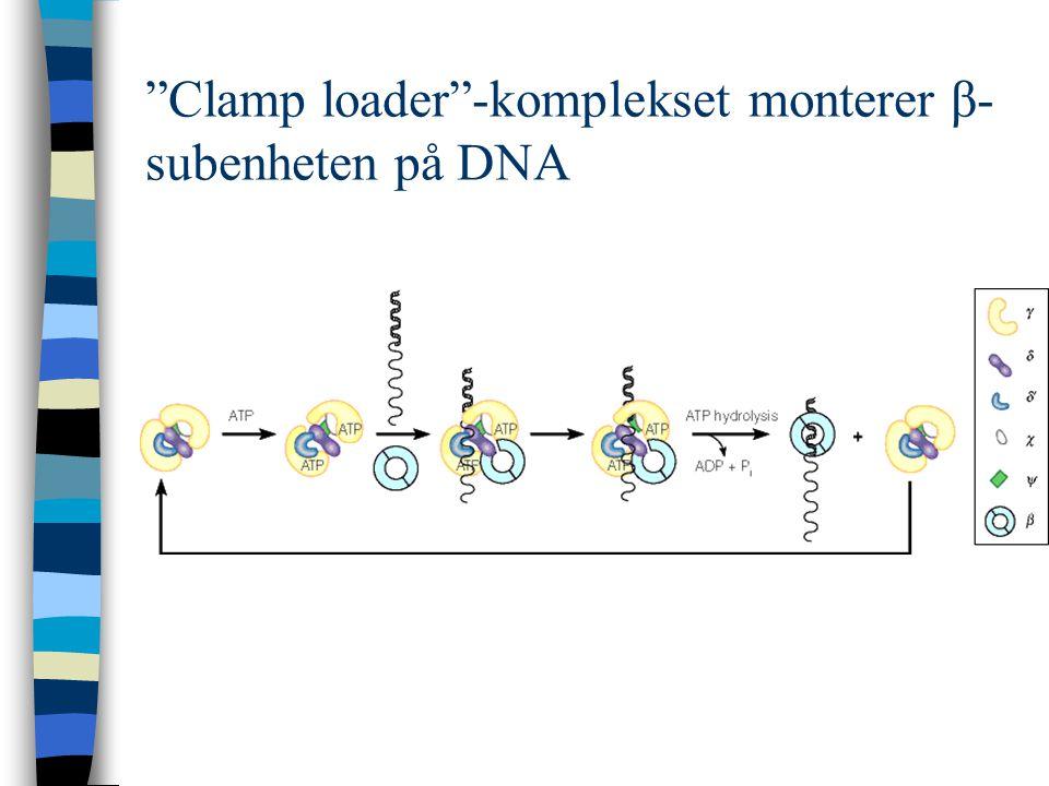 """""""Clamp loader""""-komplekset monterer β- subenheten på DNA"""