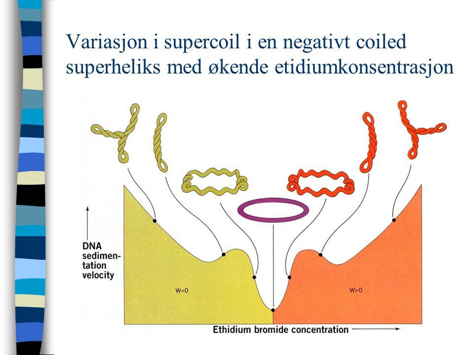 Elektroforetisk analyse av supercoil i DNA (a)Skjematisk elektroforese av en DNA-prøve med og uten interkalator.