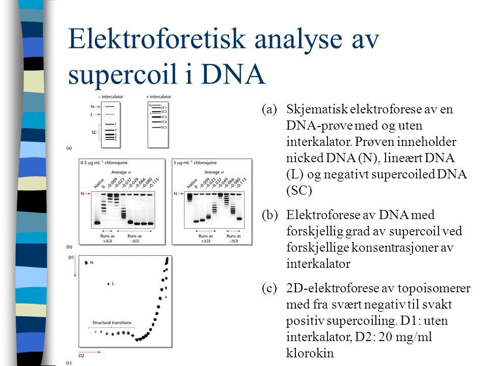 Elektroforetisk analyse av supercoil i DNA (a)Skjematisk elektroforese av en DNA-prøve med og uten interkalator. Prøven inneholder nicked DNA (N), lin