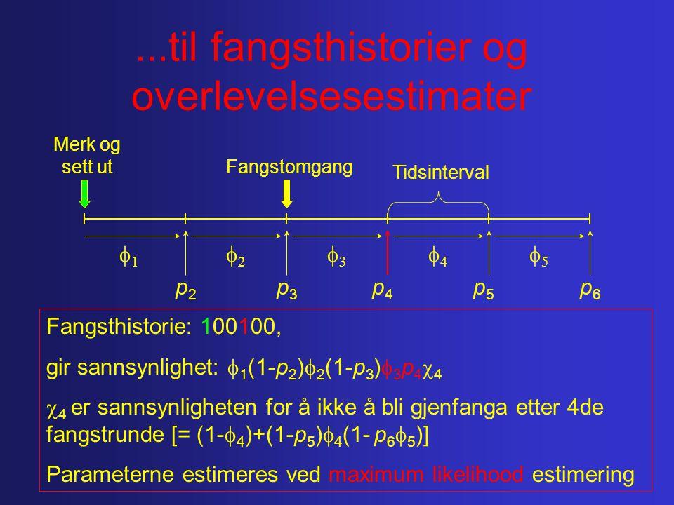 ...til fangsthistorier og overlevelsesestimater Merk og sett ut 11 55 44 33 22 Fangstomgang Tidsinterval p2p2 p5p5 p4p4 p3p3 p6p6 Fangsthistorie: 100100, gir sannsynlighet:  1 (1-p 2 )  2 (1-p 3 )  3 p 4  4  4 er sannsynligheten for å ikke å bli gjenfanga etter 4de fangstrunde [= (1-  4 )+(1-p 5 )  4 (1- p 6  5 )] Parameterne estimeres ved maximum likelihood estimering