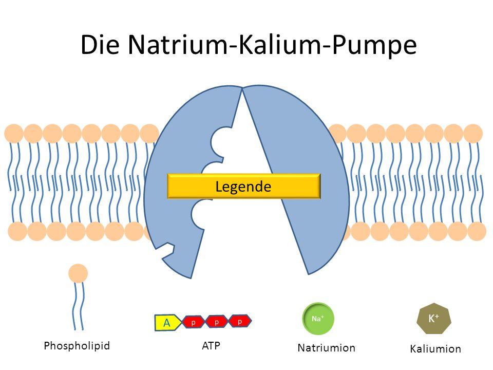 K+K+ K+K+ Na + p p p A Die Natrium-Kalium-Pumpe PhospholipidATP Natriumion Kaliumion Legende