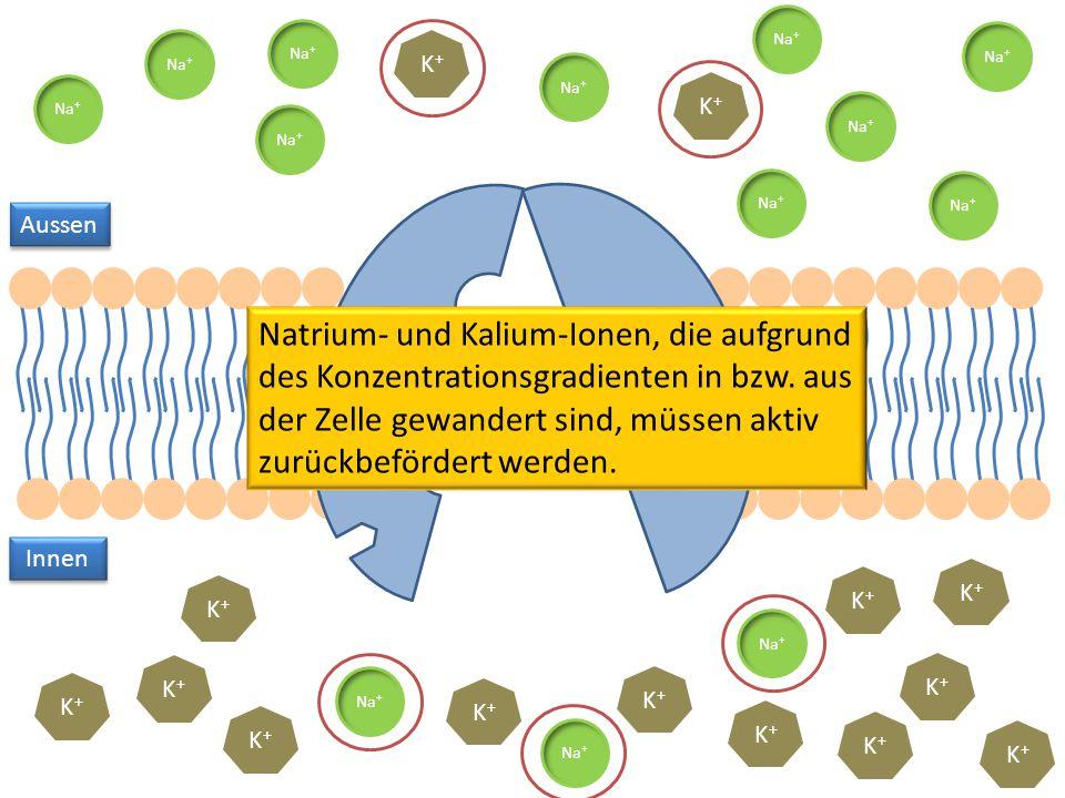 K+K+ Na + K+K+ K+K+ K+K+ K+K+ K+K+ K+K+ K+K+ K+K+ K+K+ K+K+ K+K+ K+K+ K+K+ Aussen Innen Natrium- und Kalium-Ionen, die aufgrund des Konzentrationsgrad