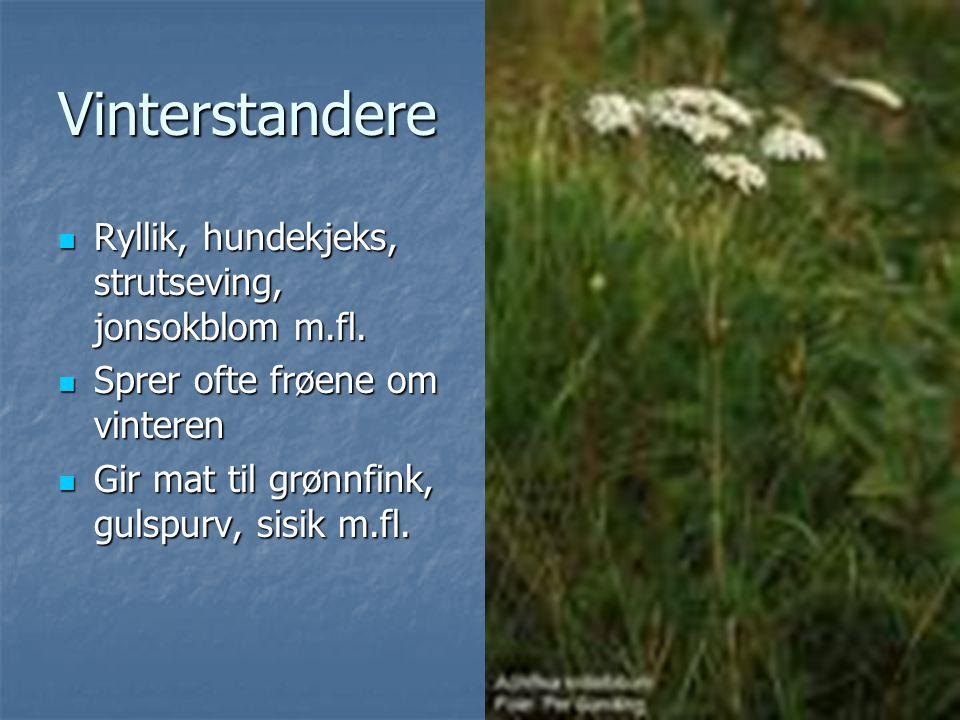 Vinterstandere Ryllik, hundekjeks, strutseving, jonsokblom m.fl.
