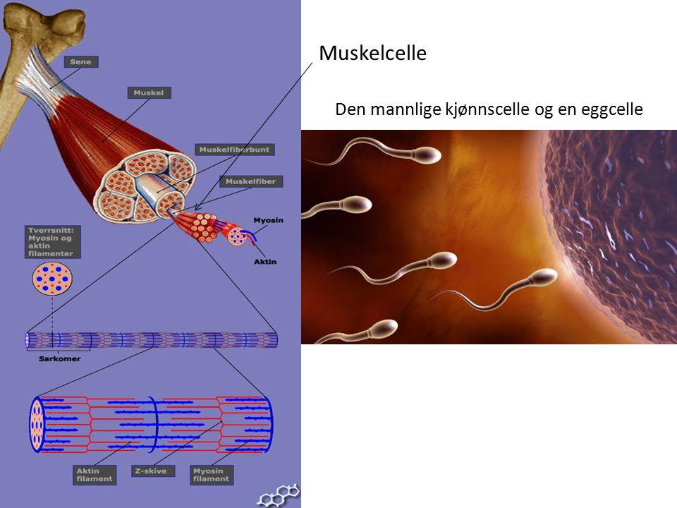 Den mannlige kjønnscelle og en eggcelle Muskelcelle