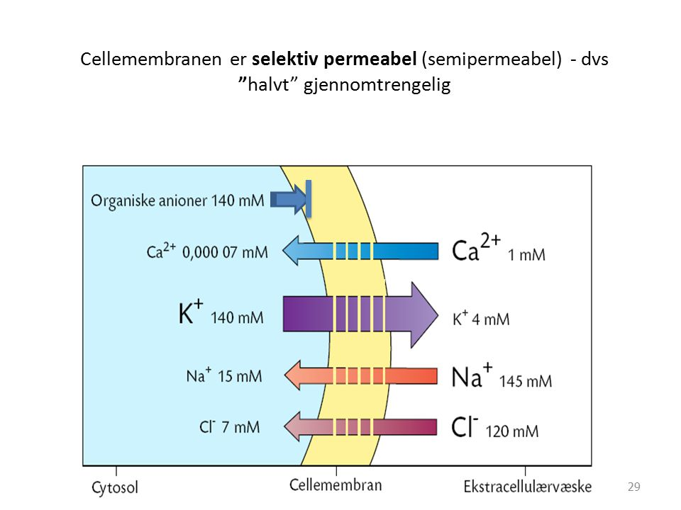 """Cellemembranen er selektiv permeabel (semipermeabel) - dvs """"halvt"""" gjennomtrengelig 29"""