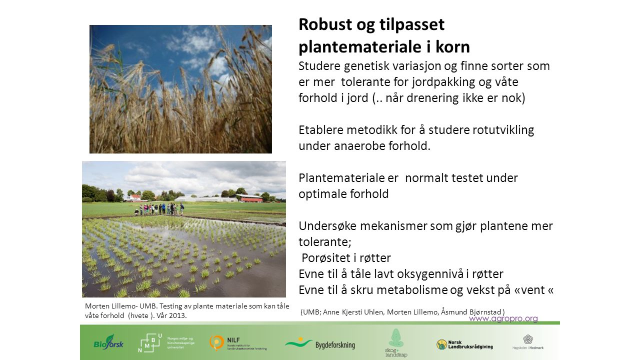 Robust og tilpasset plantemateriale i korn Studere genetisk variasjon og finne sorter som er mer tolerante for jordpakking og våte forhold i jord (..