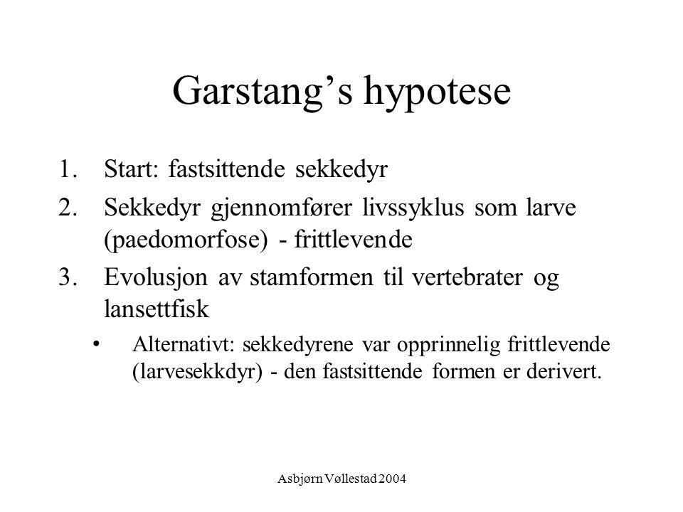 Asbjørn Vøllestad 2004 Garstang's hypotese 1.Start: fastsittende sekkedyr 2.Sekkedyr gjennomfører livssyklus som larve (paedomorfose) - frittlevende 3