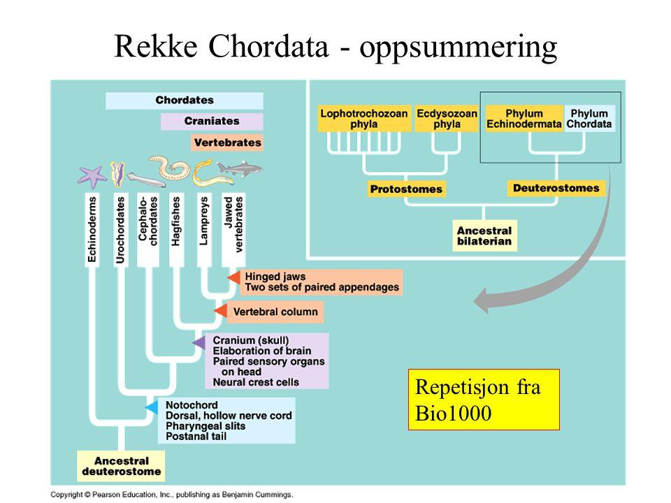 Asbjørn Vøllestad 2004 Rekke Chordata - oppsummering Repetisjon fra Bio1000