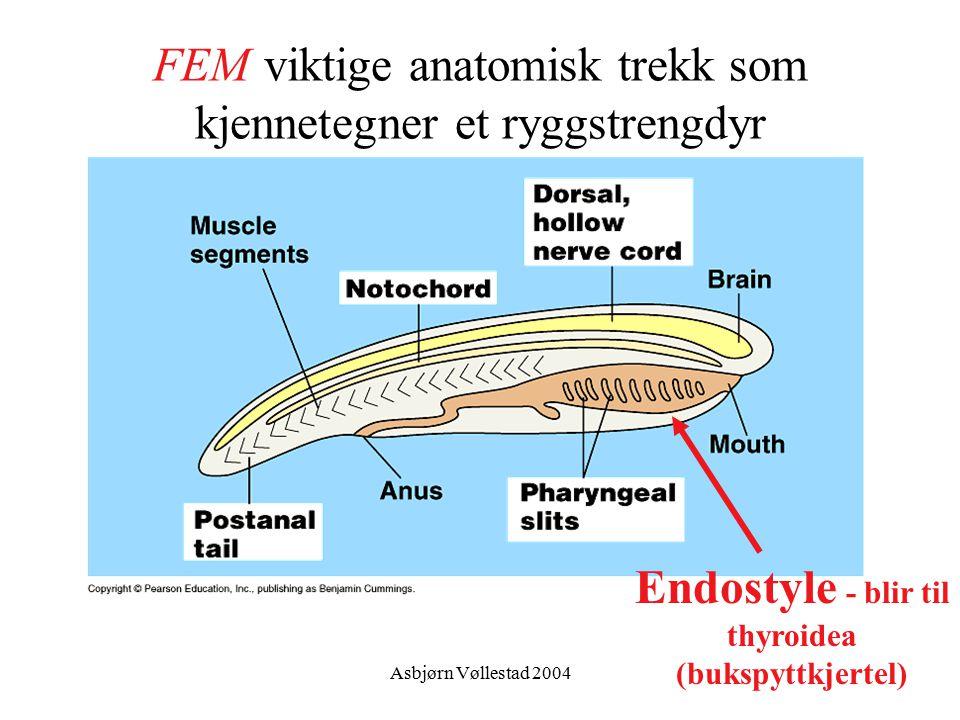 Asbjørn Vøllestad 2004 FEM viktige anatomisk trekk som kjennetegner et ryggstrengdyr Endostyle - blir til thyroidea (bukspyttkjertel)